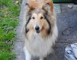 Lost beautiful rough Collie