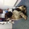 Female Spring Spaniel Found in Athlone