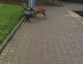 Lost stray dog, last seen Sean Walsh park tallaght