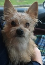 Found tiny male Yorkshire dog in Phibsboro area