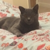 grey cat missing LiLo
