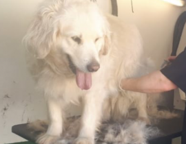 Golden Retriever Missing Named Indie