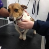 Jack Russell Found in Athlone