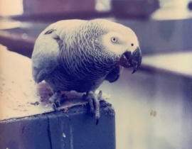 African Grey Parrot Missing in Ennis Area.