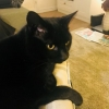 Lost Male Black Cat