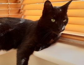 Black, male short haired cat lost since Sun, 1st July
