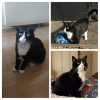 Lost tuxedo cat in Dalkey - May 4th