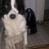 Collie Found Leixlip Area