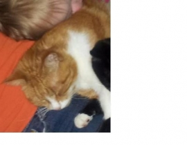 Lost Ginger & Whit Tom Cat, Neutered, Microchipped