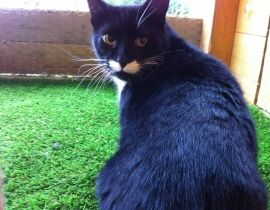 Black and white tuxedo cat (Mozart) missing from Cabinteely