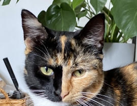 Nova - tortoise cat missing in Tallaght