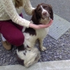 1-3 year old, male neutered,springer spaniel ,found in Ballineen/Enniskeane area