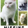 Lost white neutered male cat.