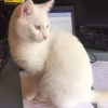 Lost Male White Cat