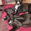 Two lurcher pups