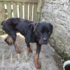 Rottweiler Found In Longford Town