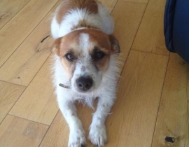 Missing Jack Russell Terrier