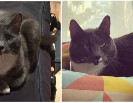 LOST MALE CAT (Name: Kuzia) in Dun Laoghaire