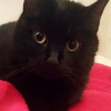 found female black cat
