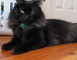 Black long hair cat missing from dundrum