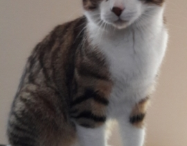 Male Tabby and white Cat missing from Leixlip since March