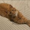 McGregor the Ginger Cat Missing since 11th Jan 2021