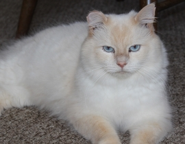 Lost cat - cream-coloured long hair