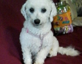Missing Bichon Frise in Galway