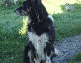 Missing female collie mix from S Kerry