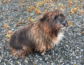 Male Cairn Terrier Mix found in Westmeath