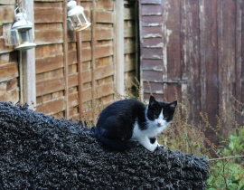 Lost - Young female black and white cat