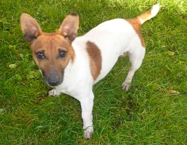 jack russell mix, male
