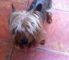 Small Yorkshire Terrier found in Glasnevin 23/8/16