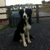 Missing Collie / Sheepdog in Burren, Co.Clare