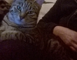 Lost tabby cat in Bray