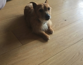 Small Terrier Found