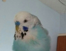 Blue budgie missing