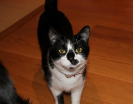 Lost Cat - black and white cat - Leopardstown