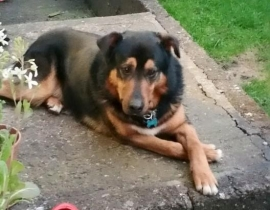 Lost or dog napped Dog in the Douglas area in Cork