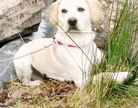 Lost medium sized blonde dog, Blackpool area, Cork