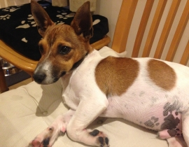 Found jack russel mix male dog in Ballyfermot