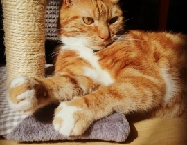 Missing Ginger&White; Male Cat