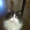 Longhaired black and white cat missing from saggart