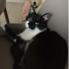 Lost Male Cat - Black and White