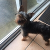 Found  little yorkie dog around blanchardstown dublin 15