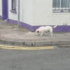 White Terrier with Brown Ears and Red Collar spotted in Cork City