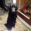 black lab found in newbridge kildare