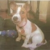 Miniature Jack Russell Puppy Lost