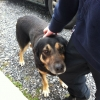 Dog found in Rathangan, Co. Kildare