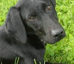 LOST LABRADOR X FAMILY PET